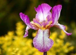 Cómo regar Iris