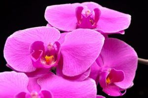 Cómo regar la orquídea