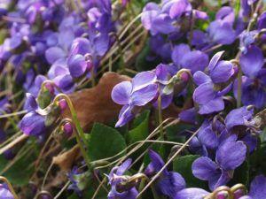 Cómo regar la violeta