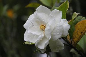Cómo regar las gardenias