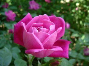 Cómo regar las rosas