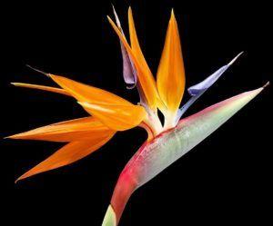 Características de las flores del paraíso