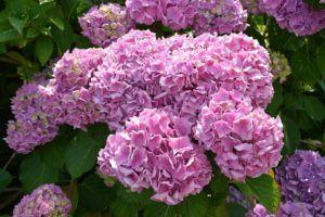Características de las hortensias