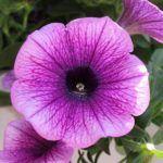 Petunia: [Cuidados, Riego, Cultivo, Significado y Características] 🌹