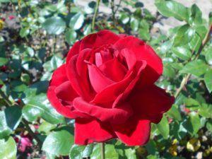 Historia y origen la rosa