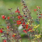 Salvia Roja:  [Cuidados, Riego, Cultivo, Significado y Características] 🌹