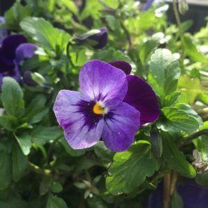 Características de las violetas