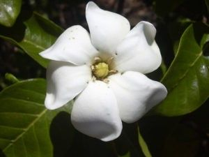 Cuidados necesarios de las gardenias