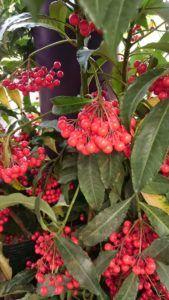 En qué estación es mejor cultivar la ardisia