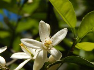 En qué estación es mejor cultivar azahares