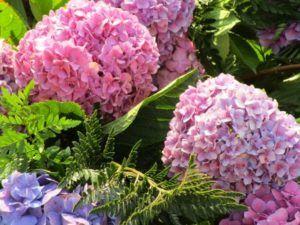 En qué estación es mejor cultivar hortensias