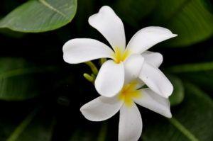 En qué estación es mejor cultivar jazmines