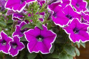 En qué estación es mejor cultivar petunias