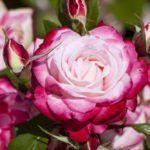 La Rosa: [Cuidados, Riego, Cultivo, Significado y Características] 🌹