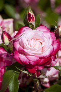 En qué estación es mejor cultivar rosas