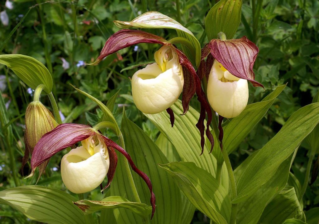Flores Exóticas Cypripedium Kentuckiense