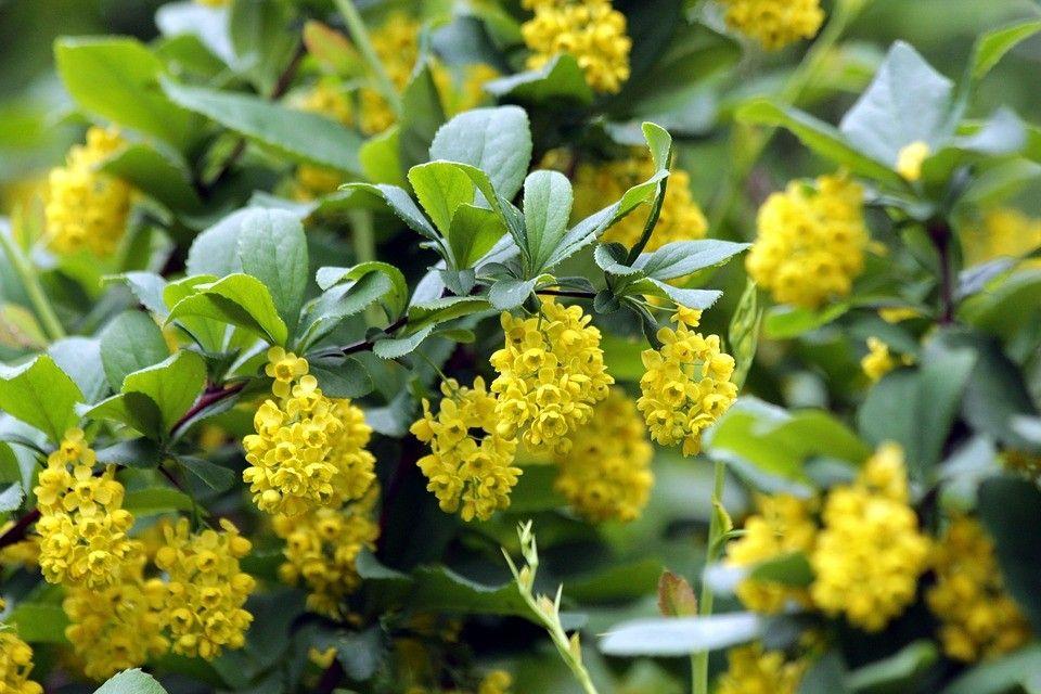 Flores amarillas Agracejos