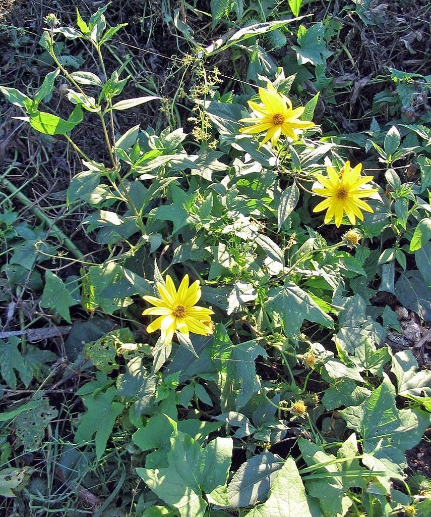 Flores amarillas Aguaturmas