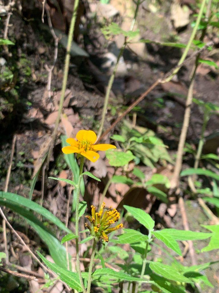Flores amarillas Aleluyas Amarillas