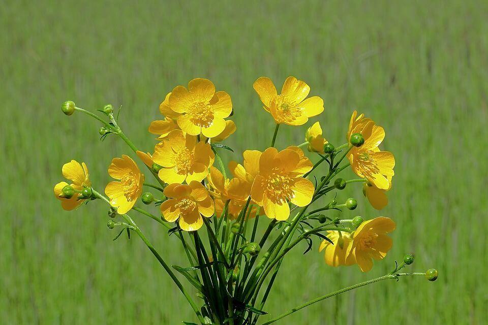 Flores amarillas Botones de oro