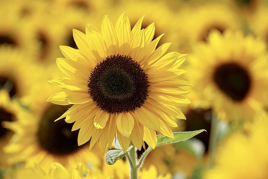 Flores amarillas Girasol