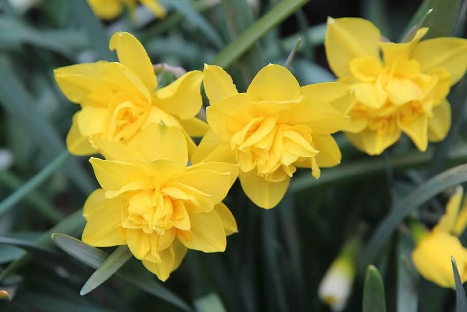 Flores amarillas Narciso
