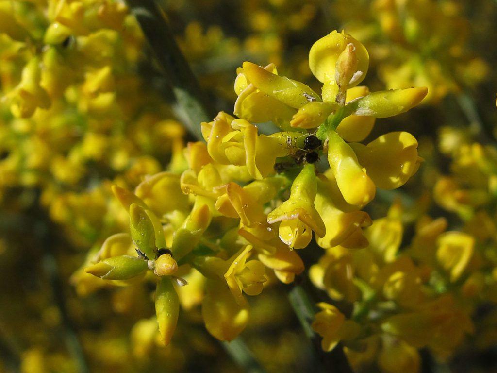 Flores amarillas Retama