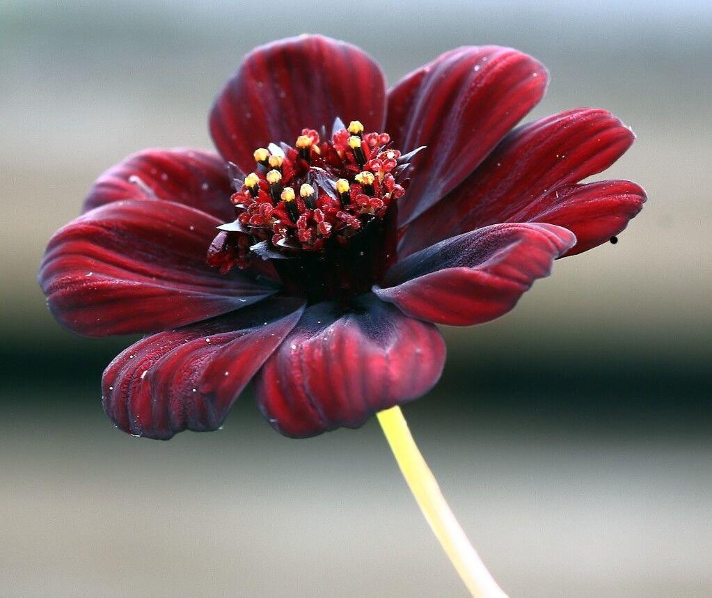 Flores aromáticas Flor de Chocolate