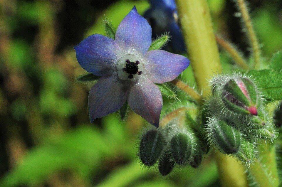 Flores azules Borraja