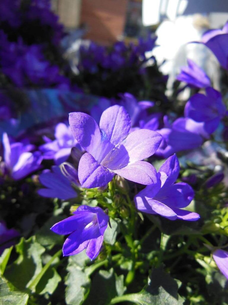 Flores azules Campanula