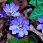 Flores Azules: [Ejemplos, Tipos, Nombres y Características] 🌹