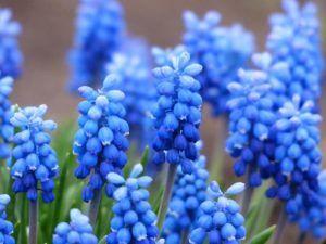 Flores azules Muscari