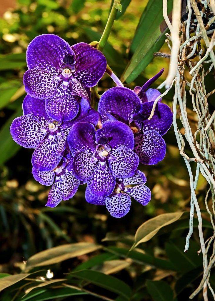 Flores azules Orquídea Vanda Azul