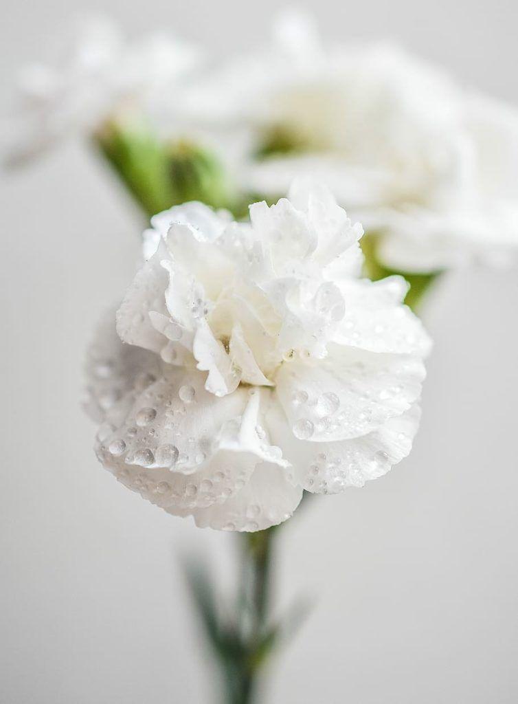 Flores blancas Clavel blanco