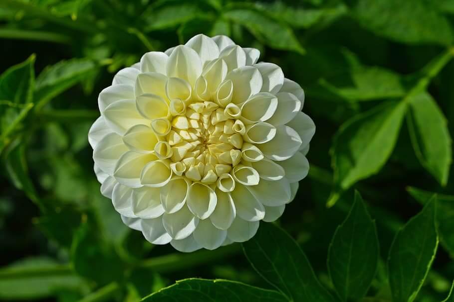 Flores blancas Dalia