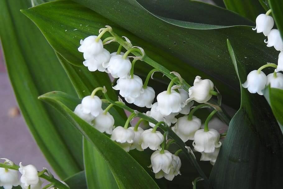 Flores blancas Lirio del Valle
