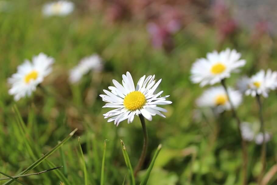 Flores blancas Margarita Blanca