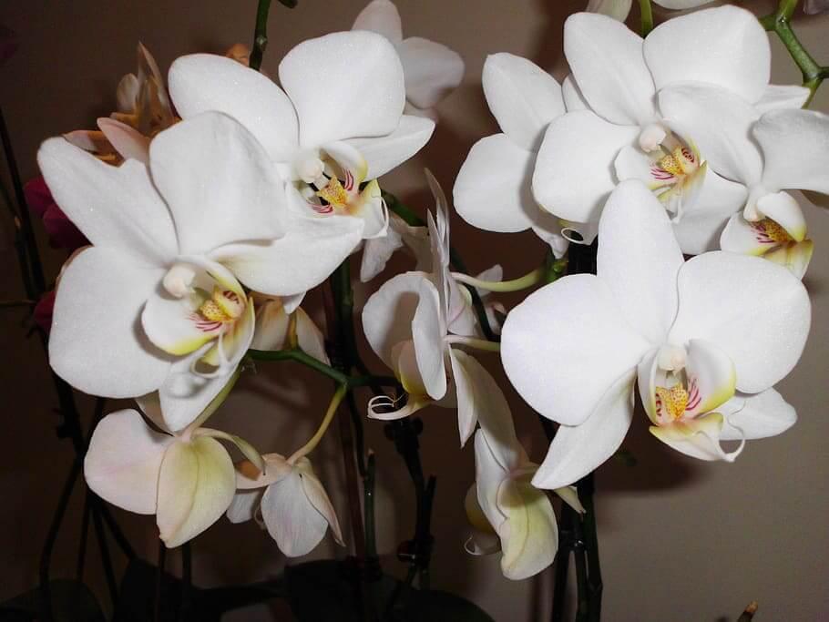 Flores blancas Orquídea Blanca