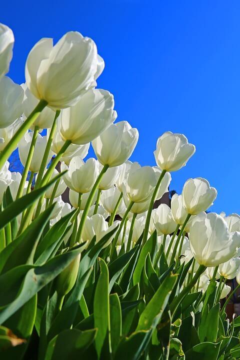 Flores blancas Tulipán