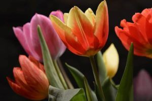 Flores bonitas Tulipanes