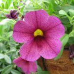 Flores Colgantes:  [Ejemplos, Tipos, Nombres y Cuidados] 🌹