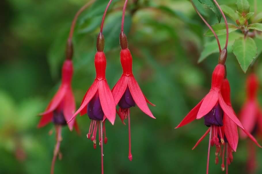 Flores colgantes Fuchsia