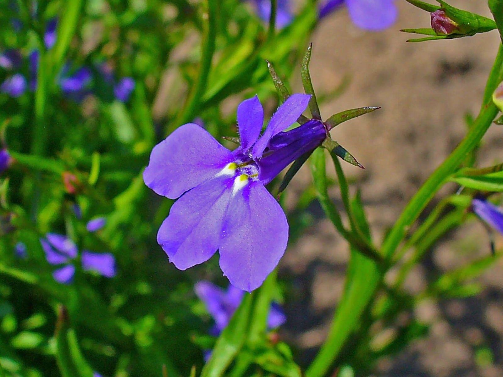 Flores colgantes Lobelia erinus
