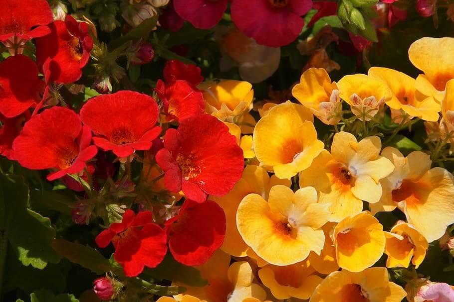 Flores colgantes Nemesia