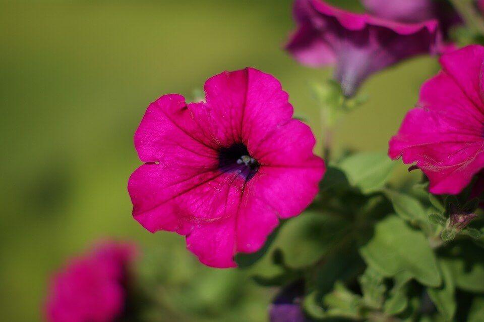 Flores colgantes Surfinia
