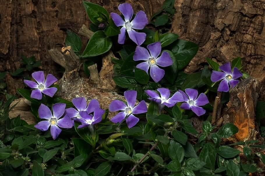 Flores colgantes Vinca Minor