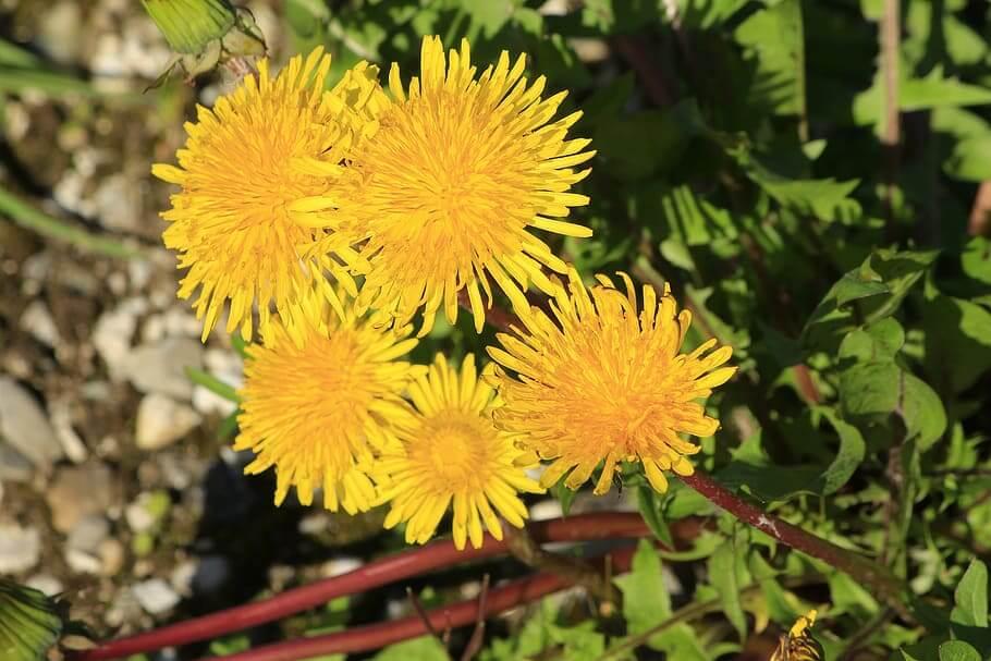 Flores comestibles Diente de León