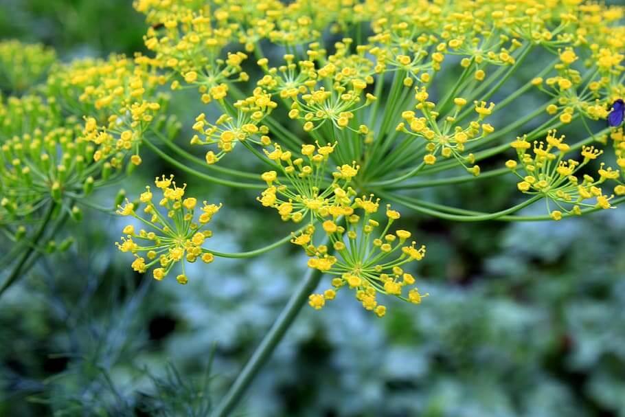 Flores comestibles Eneldo