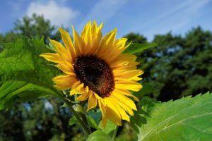 Flores comestibles Girasol