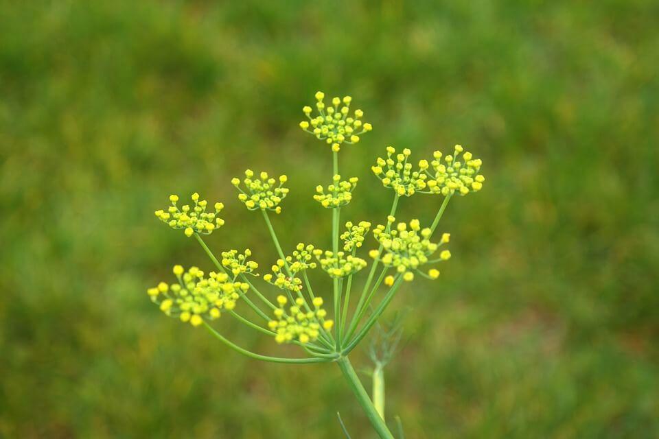 Flores comestibles Hinojo
